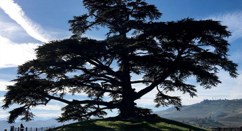 A La Morra, il cedro del Libano