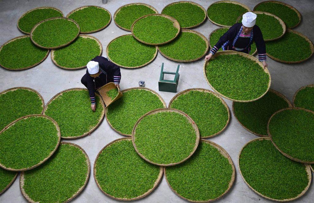 Il controllo delle foglie in lavorazione