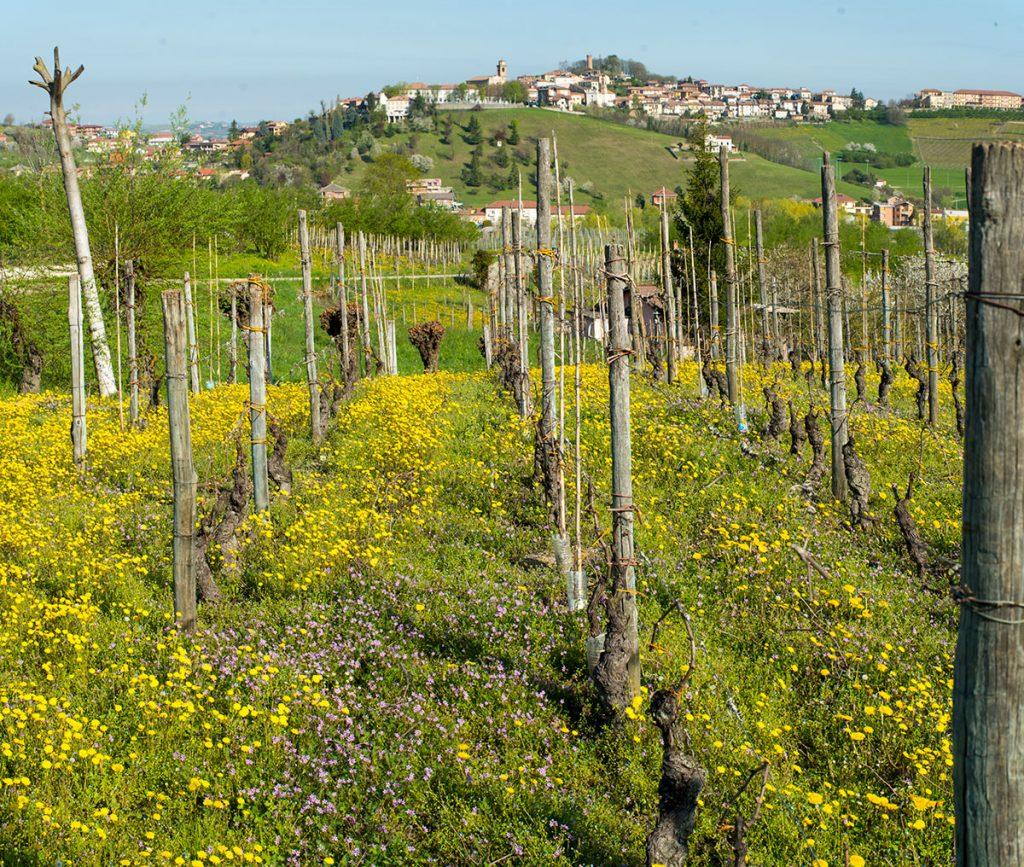 Vigne in collina, a Castagnole delle Lanze