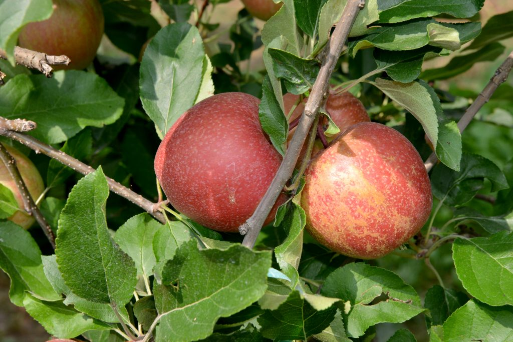 Pum Rus, ovvero la mela rossa di Cuneo IGP