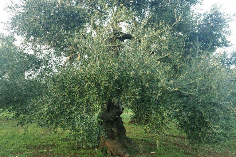 L'extravergine Dop Terra di Bari, un'eccellenza made in Puglia