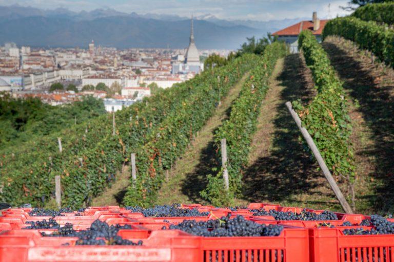 La Vigna della Regina a Torino festeggia la sua decima vendemmia a Doc